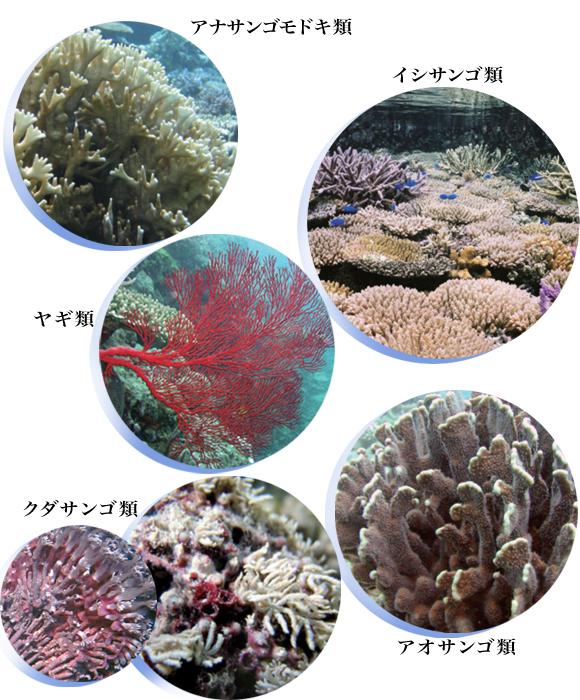 サンゴ 種類